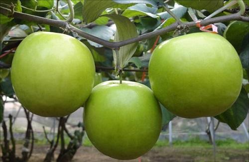 Chữa bỏng bằng bài thuốc vỏ cây táo hiệu quả