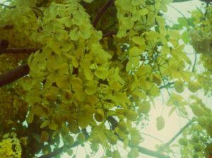 Ngẩn ngơ trước hoa bò cạp rực rỡ sắc vàng ở Sài Gòn