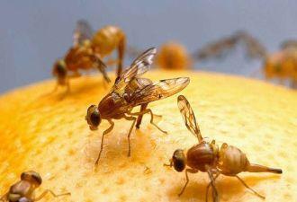 Mẹo đuổi ruồi giấm tránh xa hoa quả trong nhà bạn cần biết