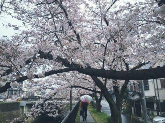 Mùa anh đào về trên khắp Nhật Bản