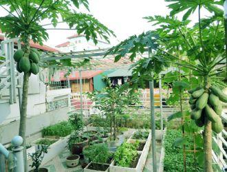Ngắm vườn đu đủ sai quả trên sân thượng