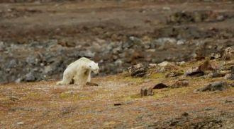 Nhiếp ảnh gia rơi nước mắt nhìn con gấu Bắc cực đói khát chết từ từ